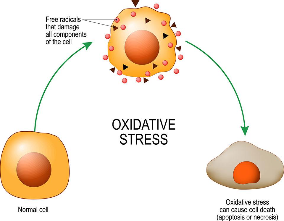 Oxidative Stress Harms Cells
